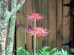 spider lilies1