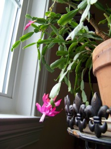 Last blooms.My dear old fashioned Christmas cactus, 33 years old, bloomed over two months this year!