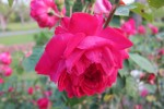 Honey's rose spring 2012