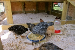 My chickens at 13 weeks, eating breakfast.