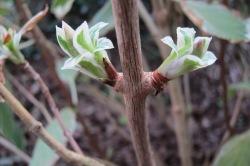 hydrangea leaf buds