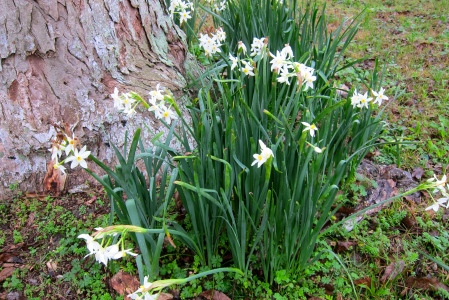paperwhites in winter