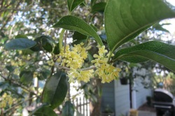 sweet olive tree