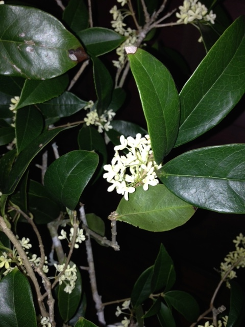 Sweet olive has come into bloom. Another great gift. They will bloom most of the winter, take a rest and burst forth again early spring for a bit. I cut branches and brought them into the house. Every time I catch a whiff of the scent, I smile. Thank you, God!